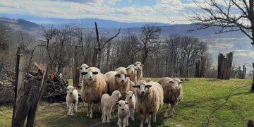 Privatna arhiva Blagica Kostic Stado ima 11 odraslih ovaca i devet jagnjadi