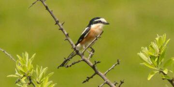 Nova vrsta ptice zabeležena u Preševu; foto: N. Stanojević/ CIB